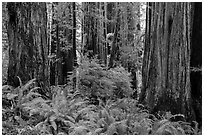 Ferns and trunks of giant redwood trees, Jedediah Smith Redwoods State Park. Redwood National Park ( black and white)