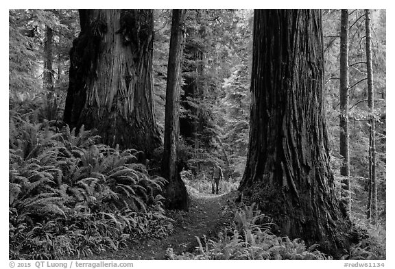Hiker between giant redwoods, Boy Scout Tree trail, Jedediah Smith Redwoods State Park. Redwood National Park (black and white)