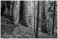 Visitor looking, Boy Scout Tree trail, Jedediah Smith Redwoods State Park. Redwood National Park ( black and white)