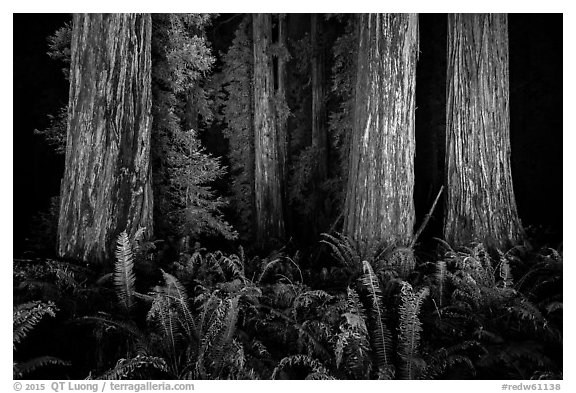 Ancient redwoods lighted at night, Jedediah Smith Redwoods State Park. Redwood National Park (black and white)