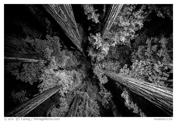 Looking up redwoods lighted at night, Jedediah Smith Redwoods State Park. Redwood National Park (black and white)