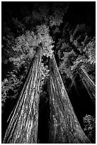 Tall redwoods lighted at night, Jedediah Smith Redwoods State Park. Redwood National Park ( black and white)