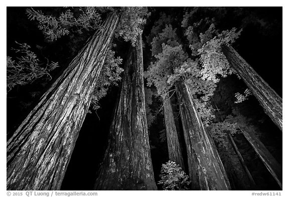 Towering redwoods at night, Jedediah Smith Redwoods State Park. Redwood National Park (black and white)