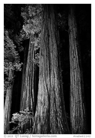 Redwood tree trunks lighted at night, Jedediah Smith Redwoods State Park. Redwood National Park (black and white)