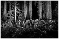 Ferns and redwoods at night, Jedediah Smith Redwoods State Park. Redwood National Park ( black and white)