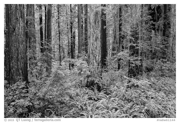 Stout Grove, Jedediah Smith Redwoods State Park. Redwood National Park (black and white)