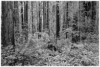 Stout Grove, Jedediah Smith Redwoods State Park. Redwood National Park ( black and white)