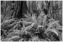 Ferns and textured trunks of giant redwoods, Stout Grove, Jedediah Smith Redwoods State Park. Redwood National Park ( black and white)