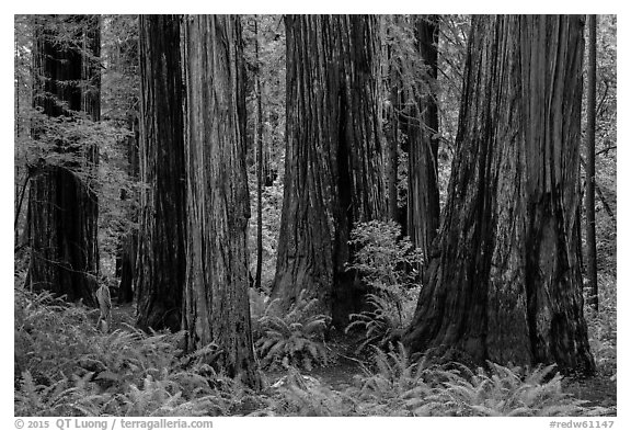 Visitor looking, Stout Grove, Jedediah Smith Redwoods State Park. Redwood National Park (black and white)