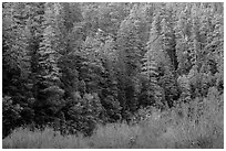 Bare branches and redwood trees, Jedediah Smith Redwoods State Park. Redwood National Park ( black and white)