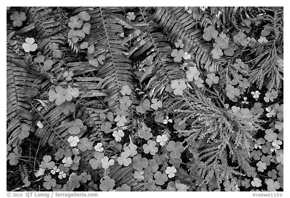 Ground close-up of clovers, shamrocks, ferns, and redwood needles, Stout Grove, Jedediah Smith Redwoods State Park. Redwood National Park (black and white)