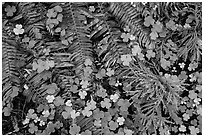 Ground close-up of clovers, shamrocks, ferns, and redwood needles, Stout Grove, Jedediah Smith Redwoods State Park. Redwood National Park ( black and white)