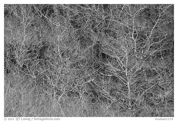 Bare alder trees and branches. Redwood National Park (black and white)