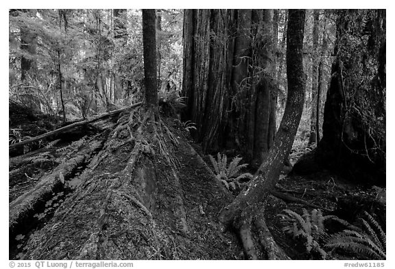 Fallen redwood as nurse log, Simpson-Reed Grove, Jedediah Smith Redwoods State Park. Redwood National Park (black and white)