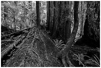 Fallen redwood as nurse log, Simpson-Reed Grove, Jedediah Smith Redwoods State Park. Redwood National Park ( black and white)
