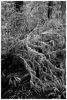 Hanging mosses on tree growing out of giant fallen redwood, Simpson-Reed Grove, Jedediah Smith Redwoods State Park. Redwood National Park ( black and white)