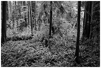 Luxuriant forest, Simpson-Reed Grove, Jedediah Smith Redwoods State Park. Redwood National Park ( black and white)