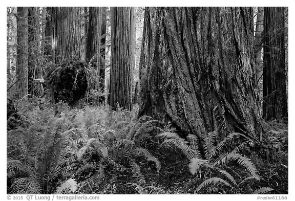 Ferns and giant redwoods, Simpson-Reed Grove, Jedediah Smith Redwoods State Park. Redwood National Park (black and white)