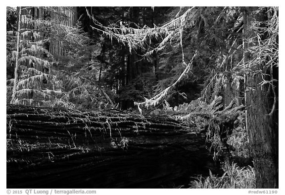 Fallen redwood in luxuriant forest, Simpson-Reed Grove, Jedediah Smith Redwoods State Park. Redwood National Park (black and white)