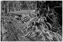 Giant fallen redwood trees, Simpson-Reed Grove, Jedediah Smith Redwoods State Park. Redwood National Park ( black and white)