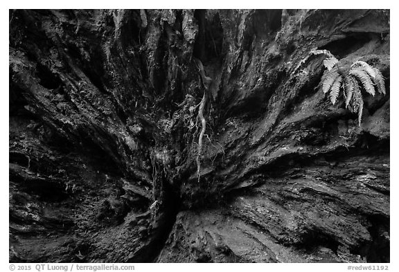 Roots of fallen redwood tree and fern, Simpson-Reed Grove, Jedediah Smith Redwoods State Park. Redwood National Park (black and white)