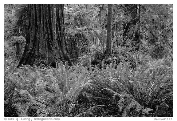 Jungle-like redwood forest, Simpson-Reed Grove, Jedediah Smith Redwoods State Park. Redwood National Park (black and white)