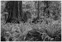 Jungle-like redwood forest, Simpson-Reed Grove, Jedediah Smith Redwoods State Park. Redwood National Park ( black and white)