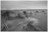 Dune grass, Gold Bluffs Beach, Prairie Creek Redwoods State Park. Redwood National Park ( black and white)