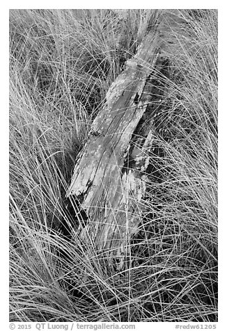 Tall grass and weathered driftwood, Prairie Creek Redwoods State Park. Redwood National Park (black and white)