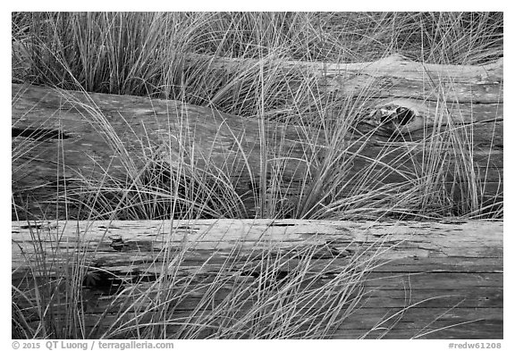 Weathered driftwood logs in tall grass, Prairie Creek Redwoods State Park. Redwood National Park (black and white)
