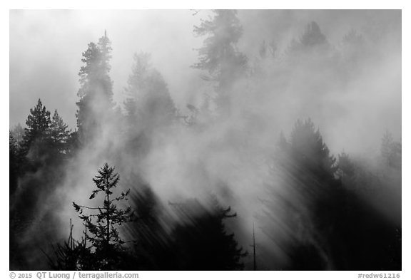 Trees and lifting fog. Redwood National Park (black and white)