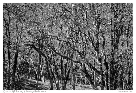 Oaks in winter. Redwood National Park (black and white)