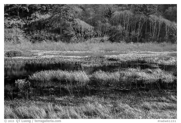 Grasses and pond. Redwood National Park (black and white)