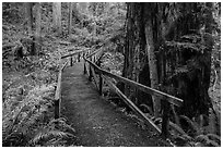 Bridge, James Irwing Trail, Prairie Creek Redwoods State Park. Redwood National Park ( black and white)