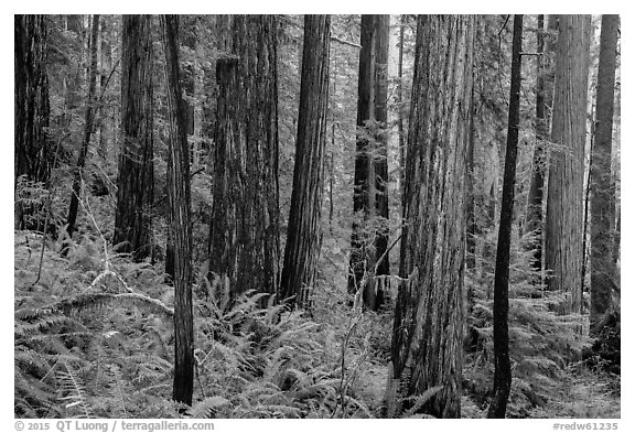 Large redwoods on hillside, Prairie Creek Redwoods State Park. Redwood National Park (black and white)