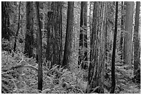 Large redwoods on hillside, Prairie Creek Redwoods State Park. Redwood National Park ( black and white)