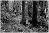 James Irwing Trail, Prairie Creek Redwoods State Park. Redwood National Park ( black and white)