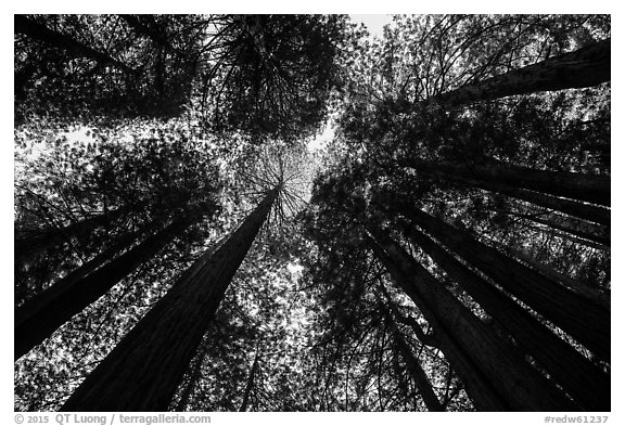 Looking up redwood trees with sunlight, Prairie Creek Redwoods State Park. Redwood National Park (black and white)