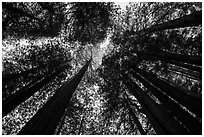 Looking up redwood trees with sunlight, Prairie Creek Redwoods State Park. Redwood National Park ( black and white)