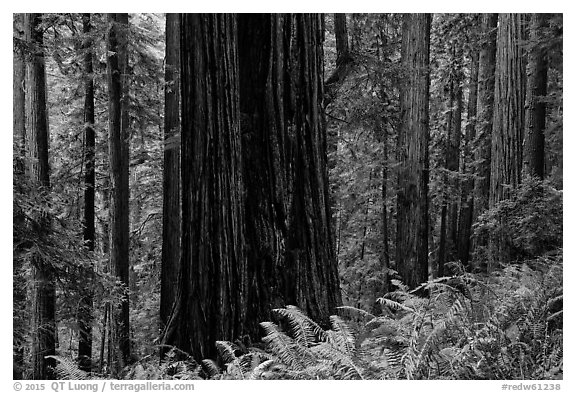 Base of giant redwood, Prairie Creek Redwoods State Park. Redwood National Park (black and white)