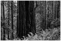 Base of giant redwood, Prairie Creek Redwoods State Park. Redwood National Park ( black and white)