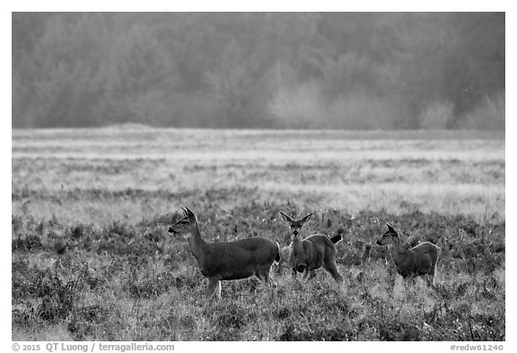 Group of young elk, Elk Prairie, Prairie Creek Redwoods State Park. Redwood National Park (black and white)