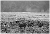 Group of young elk, Elk Prairie, Prairie Creek Redwoods State Park. Redwood National Park ( black and white)