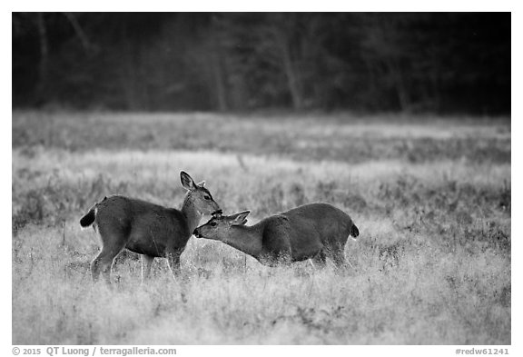 Two young elk interacting, Prairie Creek Redwoods State Park. Redwood National Park (black and white)