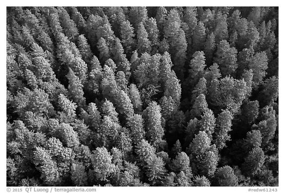 Aerial view of redwood forest treetop. Redwood National Park (black and white)