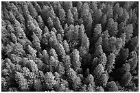 Aerial view of redwood forest treetop. Redwood National Park ( black and white)