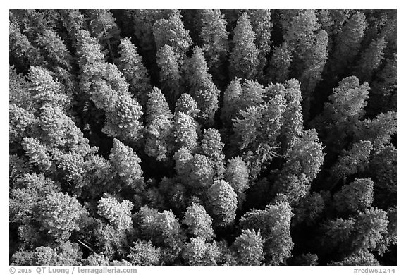 Aerial view of redwood forest canopy. Redwood National Park (black and white)