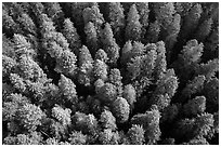 Aerial view of redwood forest canopy. Redwood National Park ( black and white)