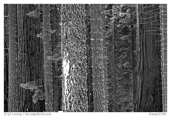 Mosaic of pines, sequoias, and mosses. Sequoia National Park (black and white)