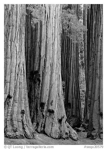Sequoia (Sequoia giganteum) trunks. Sequoia National Park (black and white)